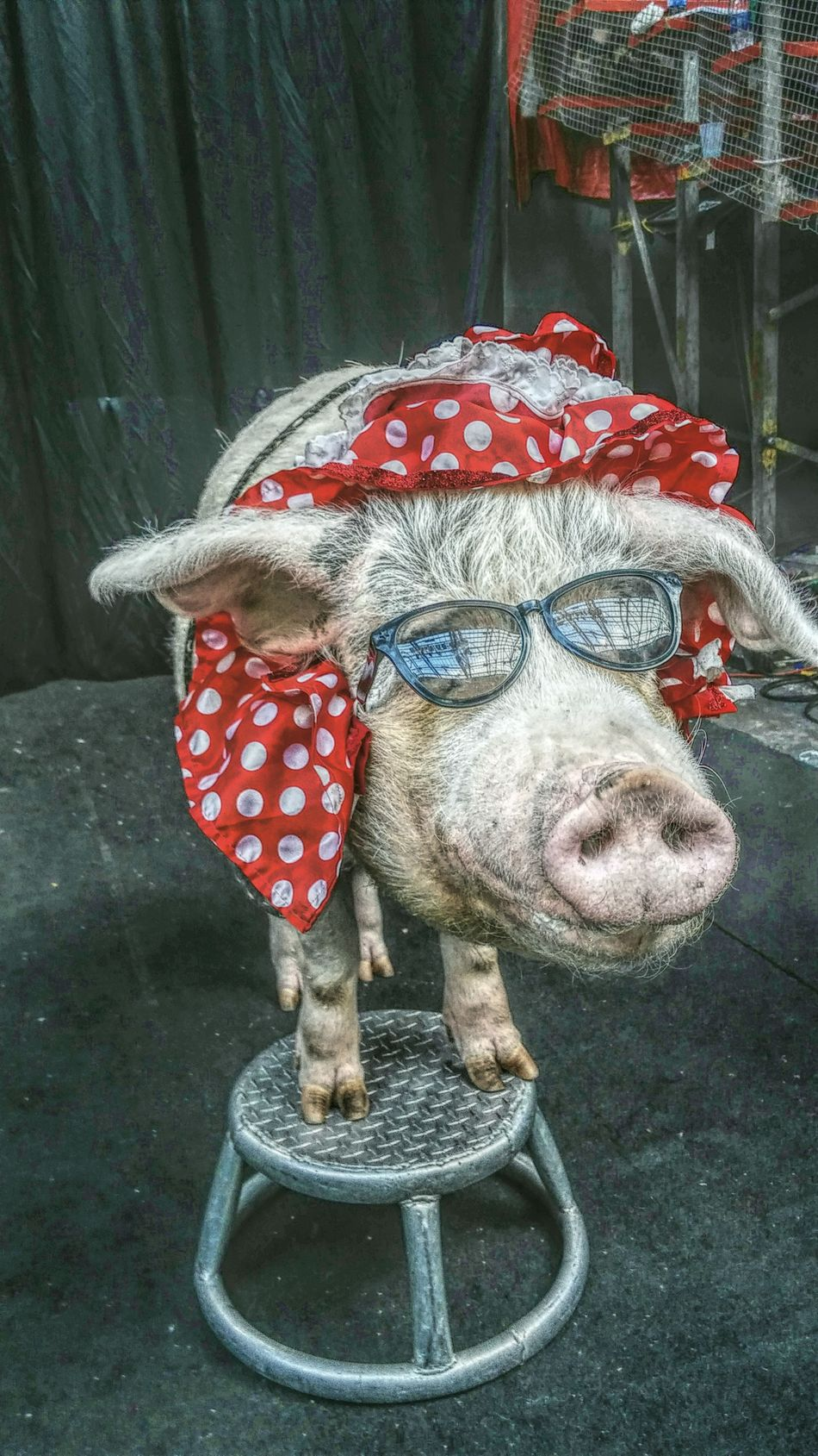 Pig Sunglasses Circus Oink