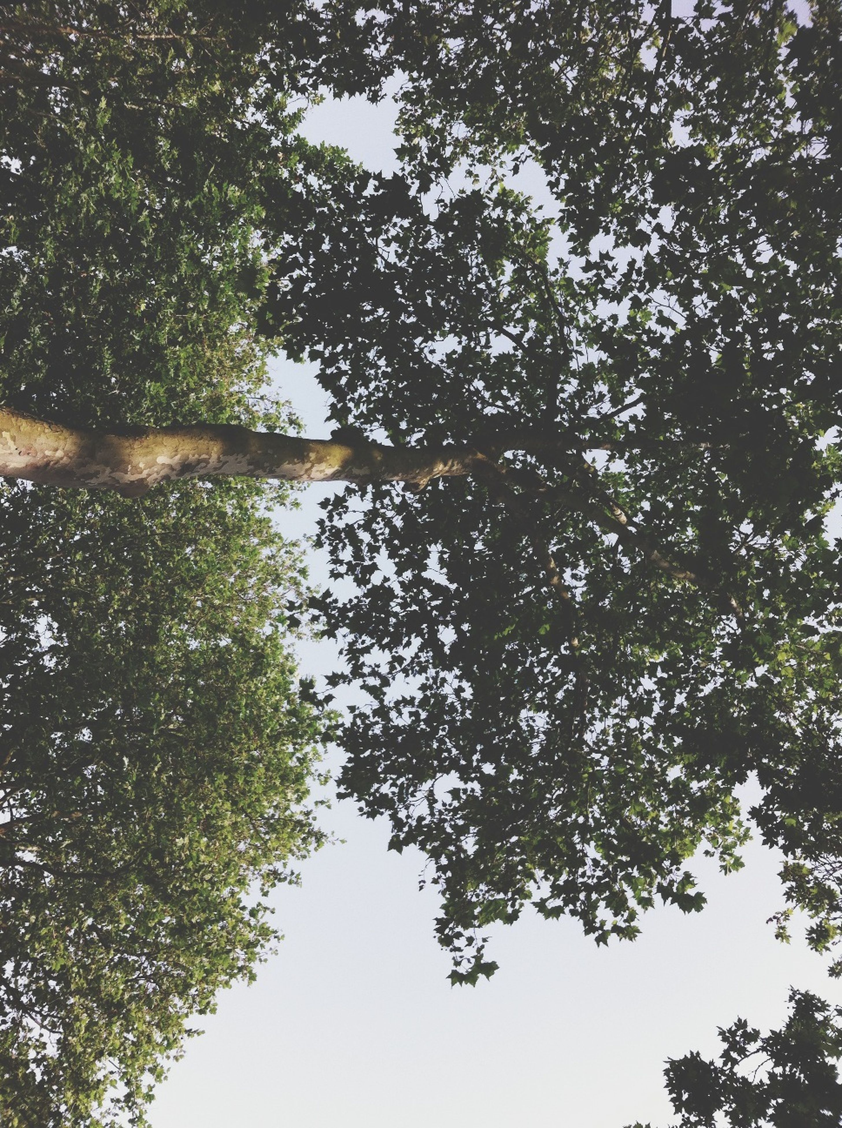 tree, branch, tranquility, growth, nature, beauty in nature, low angle view, tranquil scene, scenics, clear sky, tree trunk, forest, sky, green color, day, outdoors, no people, sunlight, water, idyllic