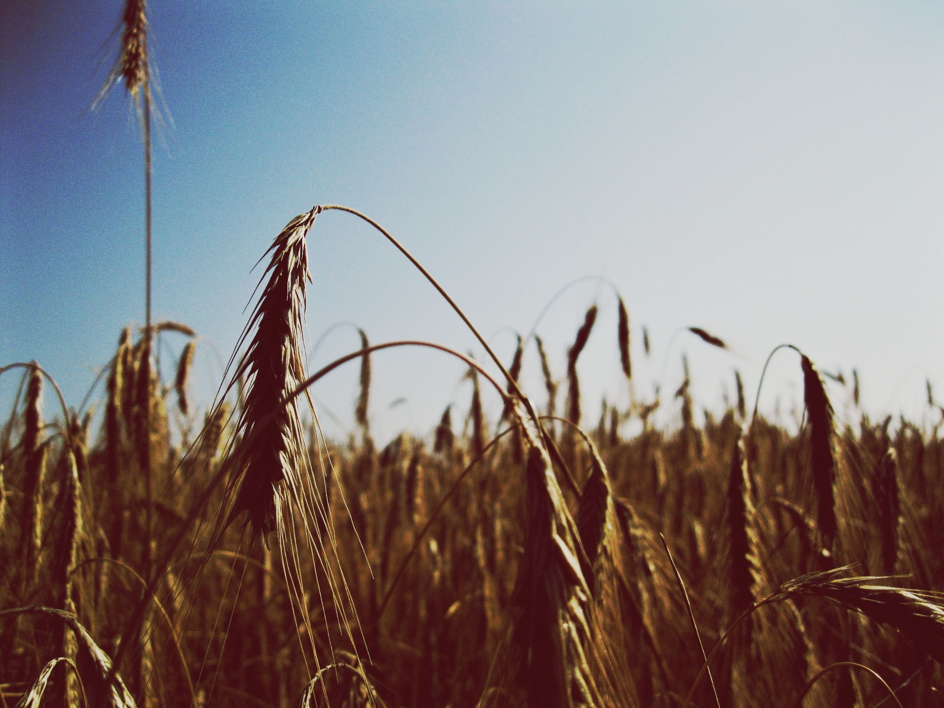 growth, field, plant, grass, crop, wheat, cereal plant, agriculture, stalk, nature, rural scene, straw, farm, tranquility, clear sky, growing, focus on foreground, stem, close-up, beauty in nature