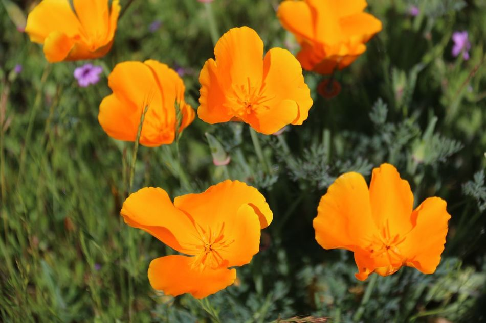 Walk along Coyote Creek Trail Morgan Hill Flower Nature Petal Beauty In Nature Orange Color Flower Head Fragility Blooming Freshness Focus On Foreground Close-up California Poppy