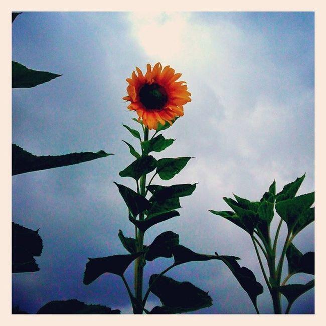 Oh the Sunflower! I enjoy you so much. Sunflower Latergram Garden Love Enjoy Happy Favoriteflower Yellow Sky Green Life