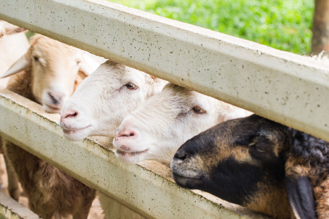 Animal Themes Domestic Animals Mammal No People Zoo Pets Animal Head  Animals In Captivity Sheep Sheeps Young Animal Relaxation Outdoors Focus On Foreground Sheep Farm Animal Themes One Animal Domestic Animals Mammal Animal Pen Livestock Young Animal Animals In Captivity Animal Head  Relaxation