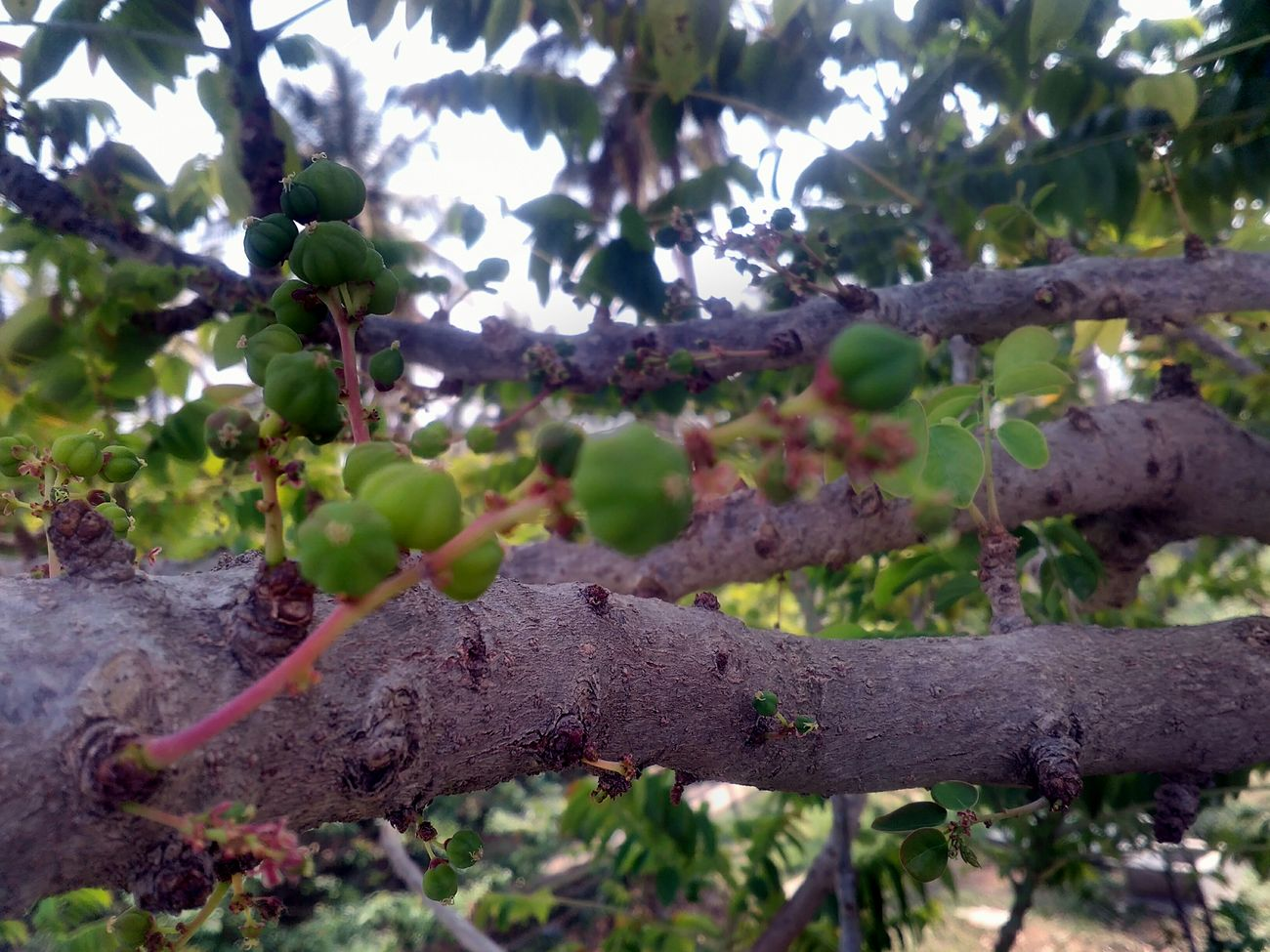 AMLA Tree Branch