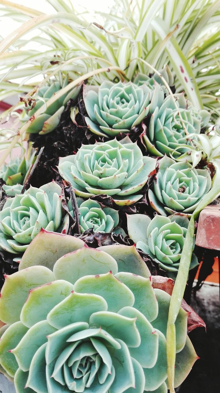 High Angle View Of Fresh Green Succulent Plants