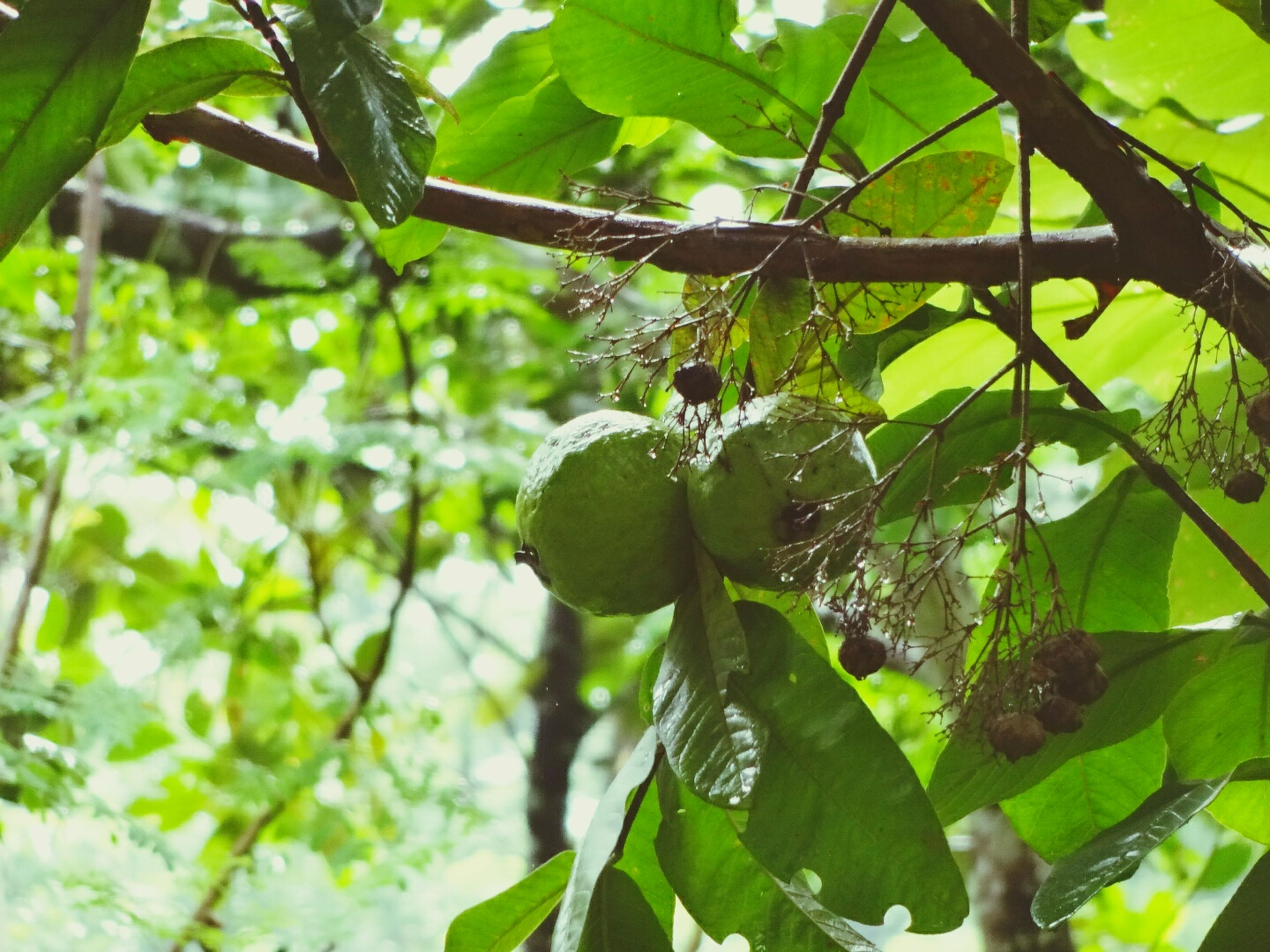leaf, growth, tree, green color, focus on foreground, close-up, branch, freshness, nature, plant, beauty in nature, fruit, low angle view, growing, sunlight, day, outdoors, no people, tranquility, food and drink