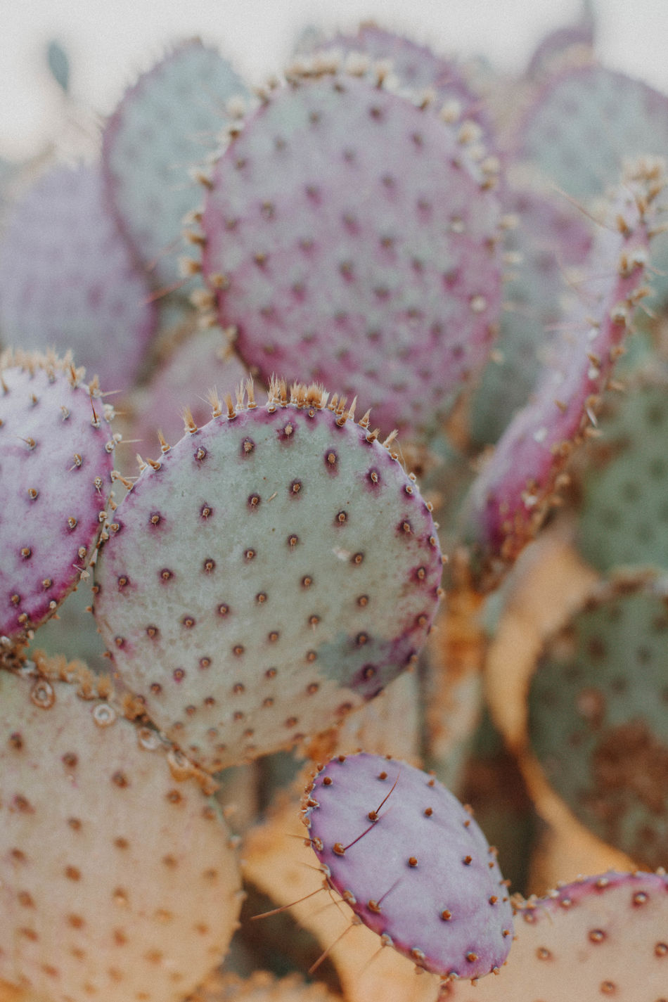 Beauty In Nature Cacti Cactus Cactus Close-up Day Desert Desert Beauty Desert Life Fresh On Eyeem  Freshness Nature No People Outdoors Plant Prickly Pear Prickly Pear Cactus