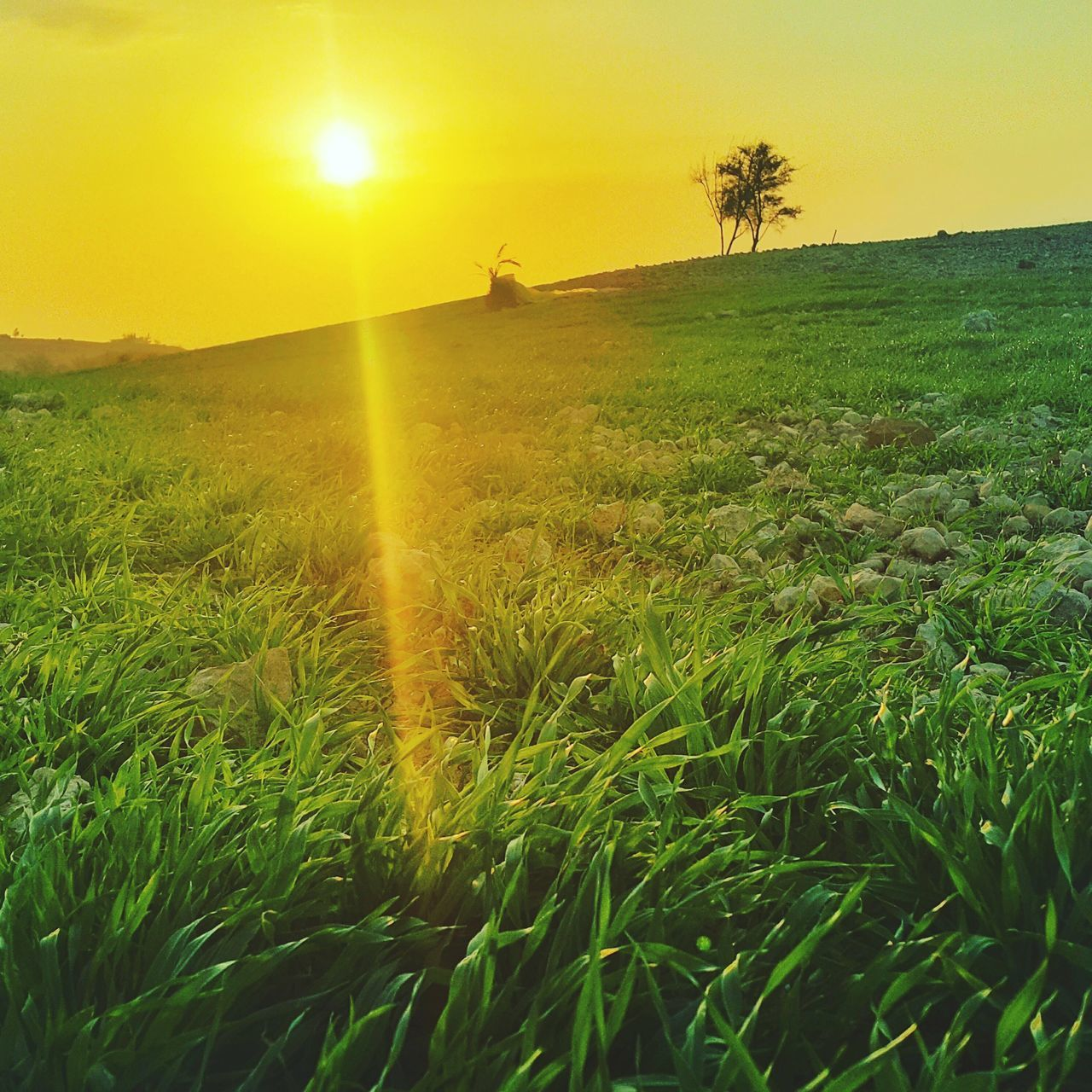 My home Farm Sunset Beauty In Nature Nature Field Rural Scene Outdoors No People Landscape Cereal Plant Tranquil Scene Sky Sun Urban Travel Jordan Amman Tree Green Color Scenics Agriculture Love Happy VSCO