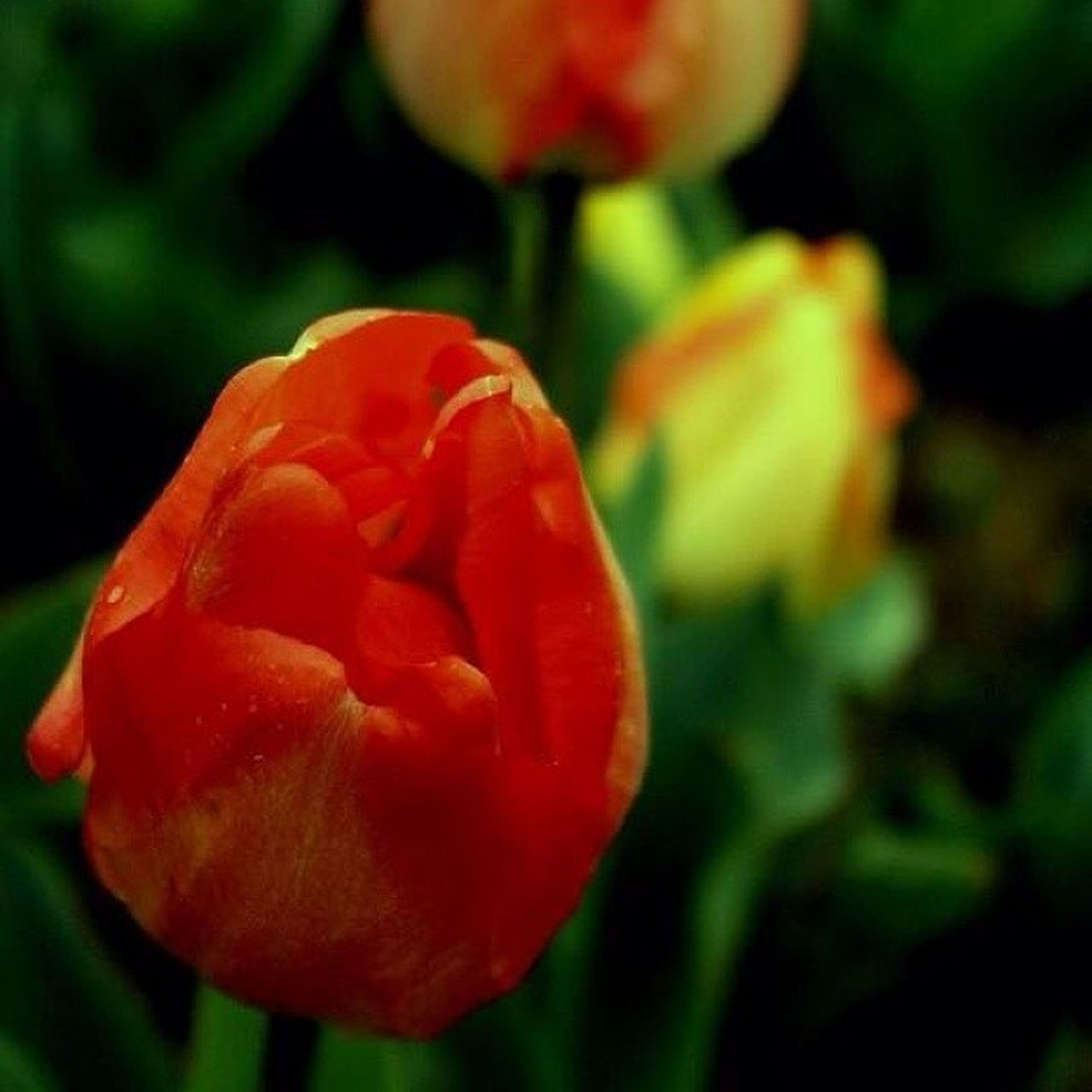 freshness, flower, petal, focus on foreground, close-up, growth, flower head, red, fragility, beauty in nature, plant, nature, blooming, selective focus, rose - flower, bud, tulip, single flower, in bloom, park - man made space
