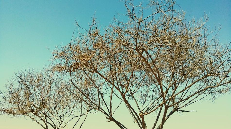 Sky Blue Nature Tree Branch Clear Sky No People Day Beauty In Nature Outdoors Flower Plant Winter Close-up Tree And Sky Trees And Nature Treescape Sky_ Collection Sky And Clouds Skyporn TreePorn Landscape Landscape_photography Naturephotography Nature Photography
