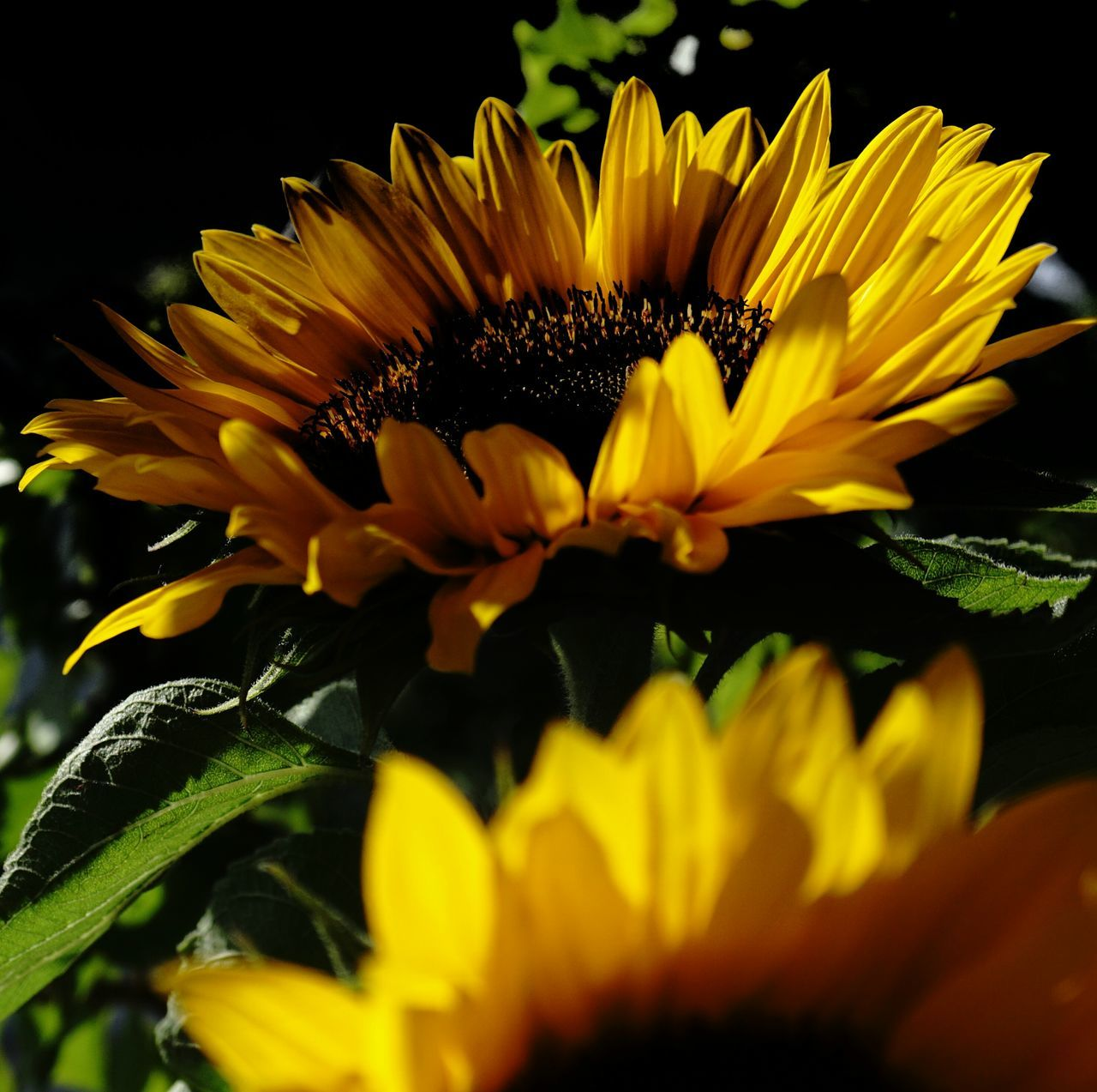 flower, petal, fragility, beauty in nature, flower head, freshness, yellow, nature, pollen, growth, plant, no people, sunflower, close-up, blooming, leaf, outdoors, day