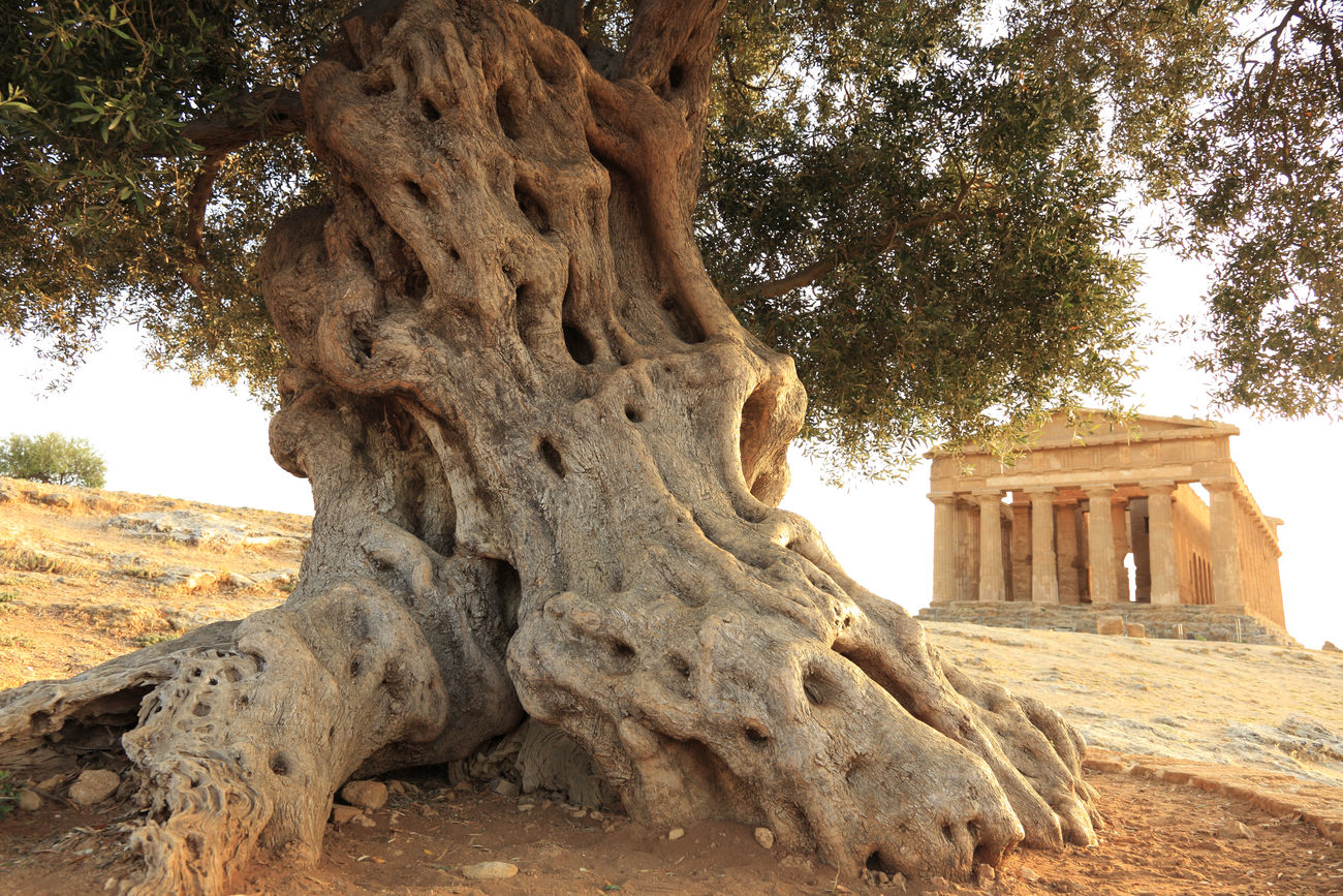 Sizilia, Italie, Arigento, Concocordia Temple Ancient Arigento Concordia Temple History Italy Nature No People Old Old Ruin Olive Tree Sizilia Temple Tourism Tranquility Travel Destinations Tree Tree Trunk