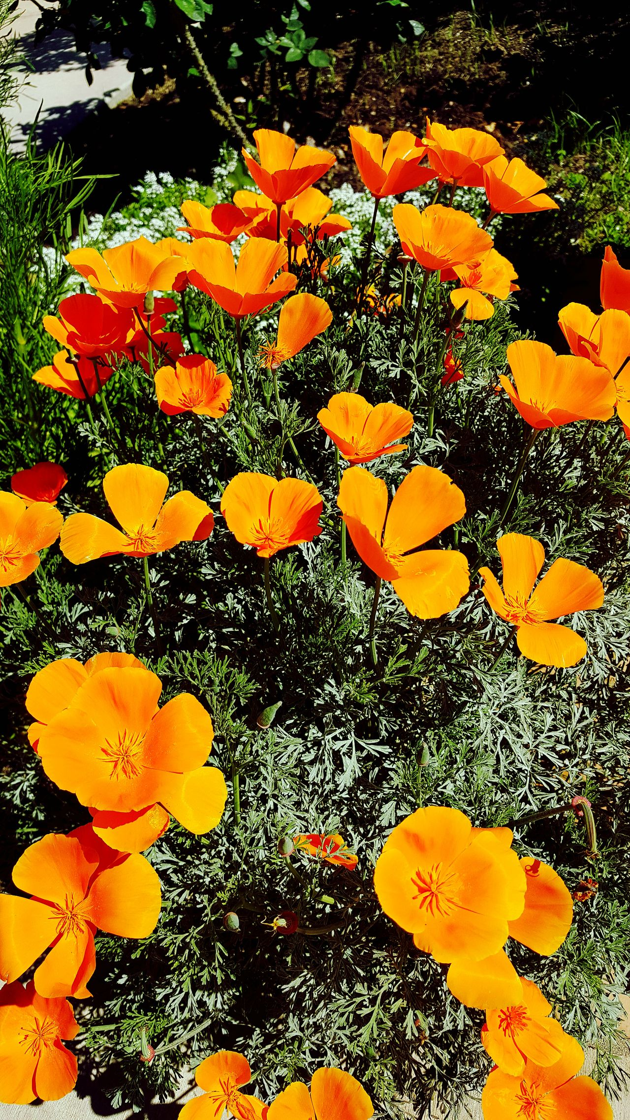 Orange Color Outdoors Southern California Beauty In Nature California Poppy
