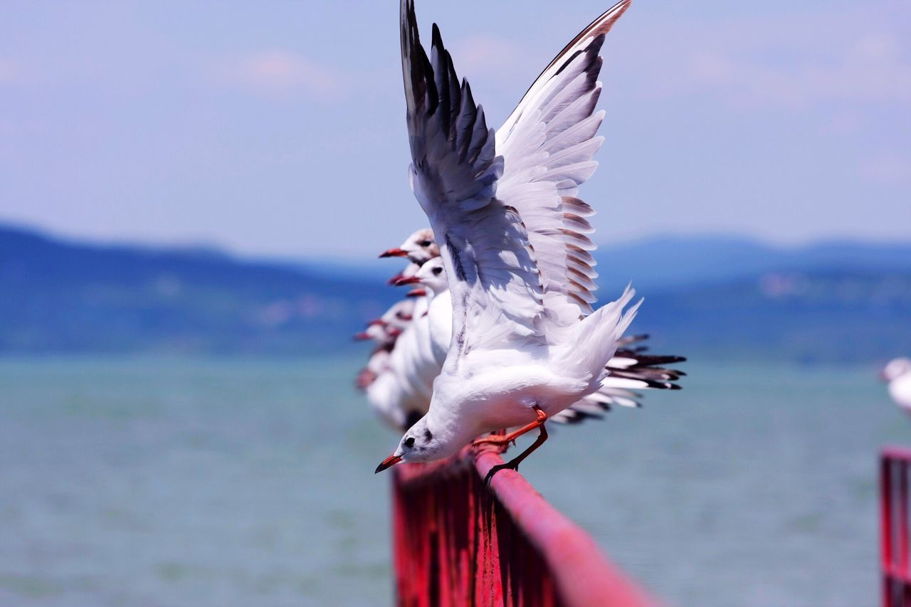 Seagulls on red raill Seagull Gull White Balaton Bird Animal Sit Wing Stretch Flap Typical Rest Row Many Flock