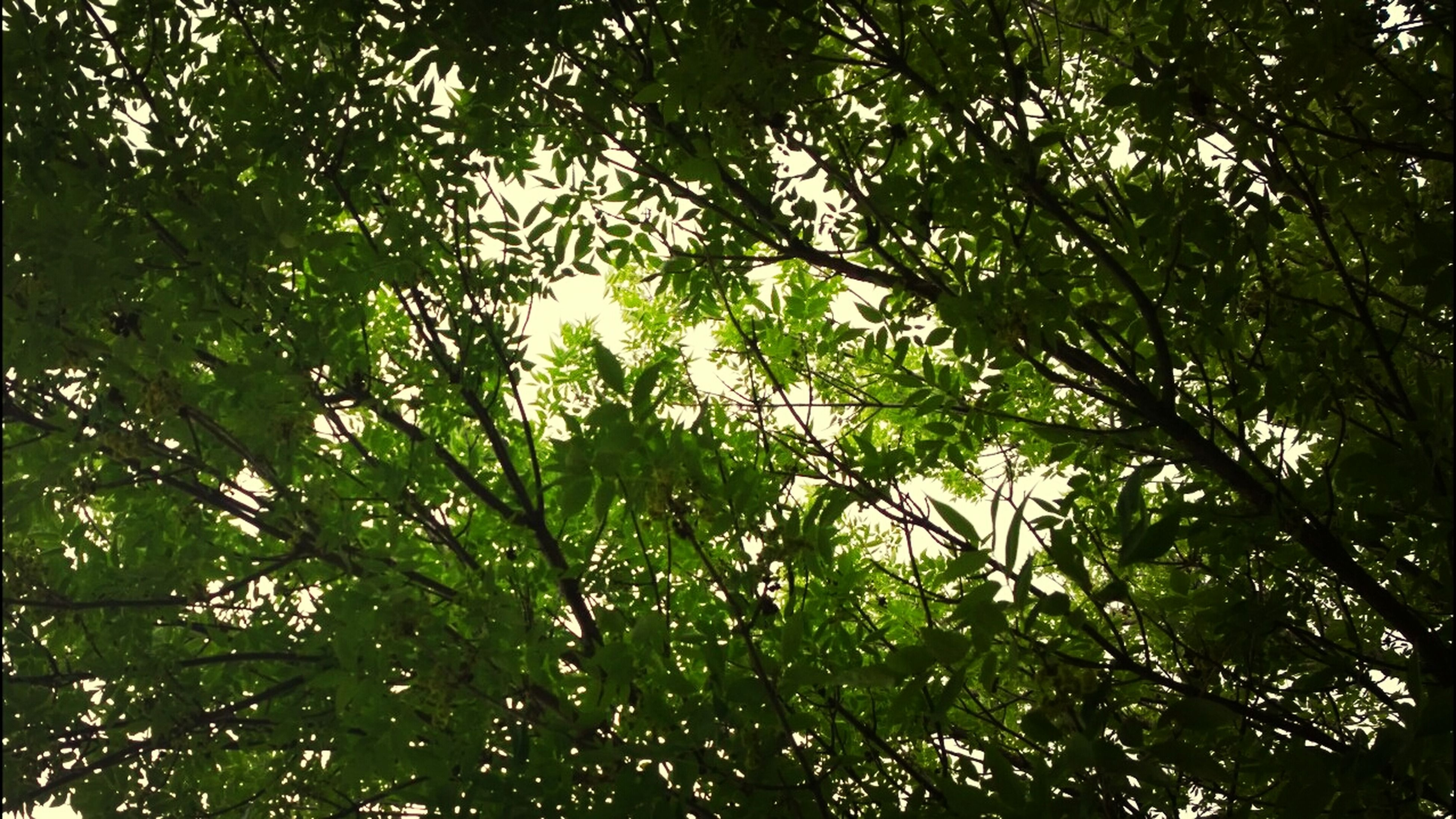tree, growth, branch, low angle view, tranquility, nature, forest, beauty in nature, leaf, green color, backgrounds, full frame, day, outdoors, plant, no people, lush foliage, tranquil scene, sky, scenics