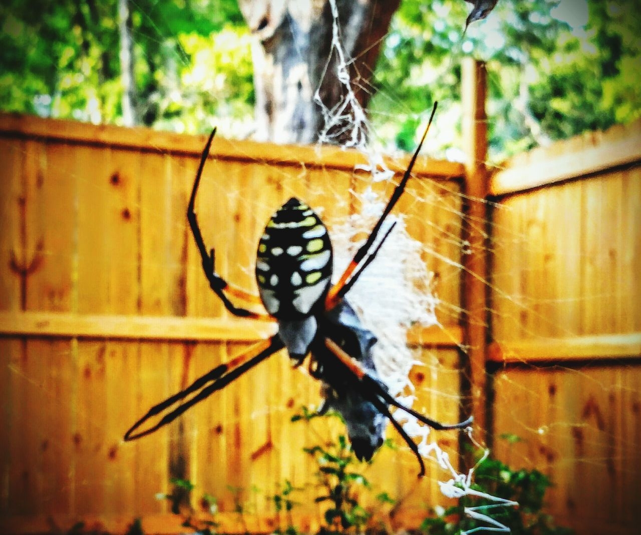 This banana spider just wrapped up dinner. What's For Dinner? Spider Check This Out Eye4photography  Out My Front Door Cellphone Photography I Love Taking Pictures <3 Eyeem Mother Nature Beautiful Surroundings Eyeem Popular Photos