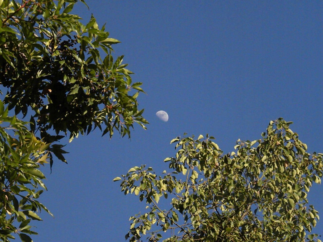Day Moon Taking Photos Outdoors Sky Moon No People, Green Leaves Beautiful Day Home Is Where The Art Is Riverside California Color Photography Green Blue Sky Blue Color Colour Of Life Color Palette Eyemphoto