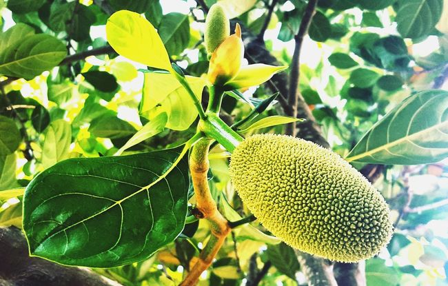 Fruits ♡ Fruits Lover Green Color Growth Outdoors Beauty In Nature Plant Close-up Fruit Tree Leaf Food Nature Freshness No People Day Photography In Motion EyeEm Best Shots First Eyeem Photo Photographer In The Shot Nature_collection Nature Photography Photooftheday Naturelovers