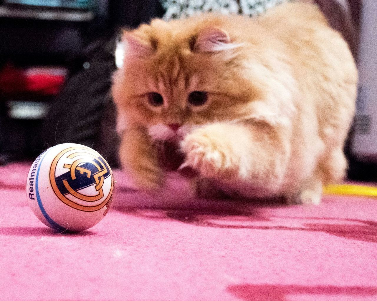 A true Madridista ! Iran Ahvaz Persiancat Cat EyeEmNewHere Garfield Realmadrid Realfan Pet Animal Animallovers Chek This Out  Pet Photography  Pets Fluffy Cat EyeEmNewHere Halamadrid First Eyeem Photo Soccer Football Realmadridcf RealMadridfan