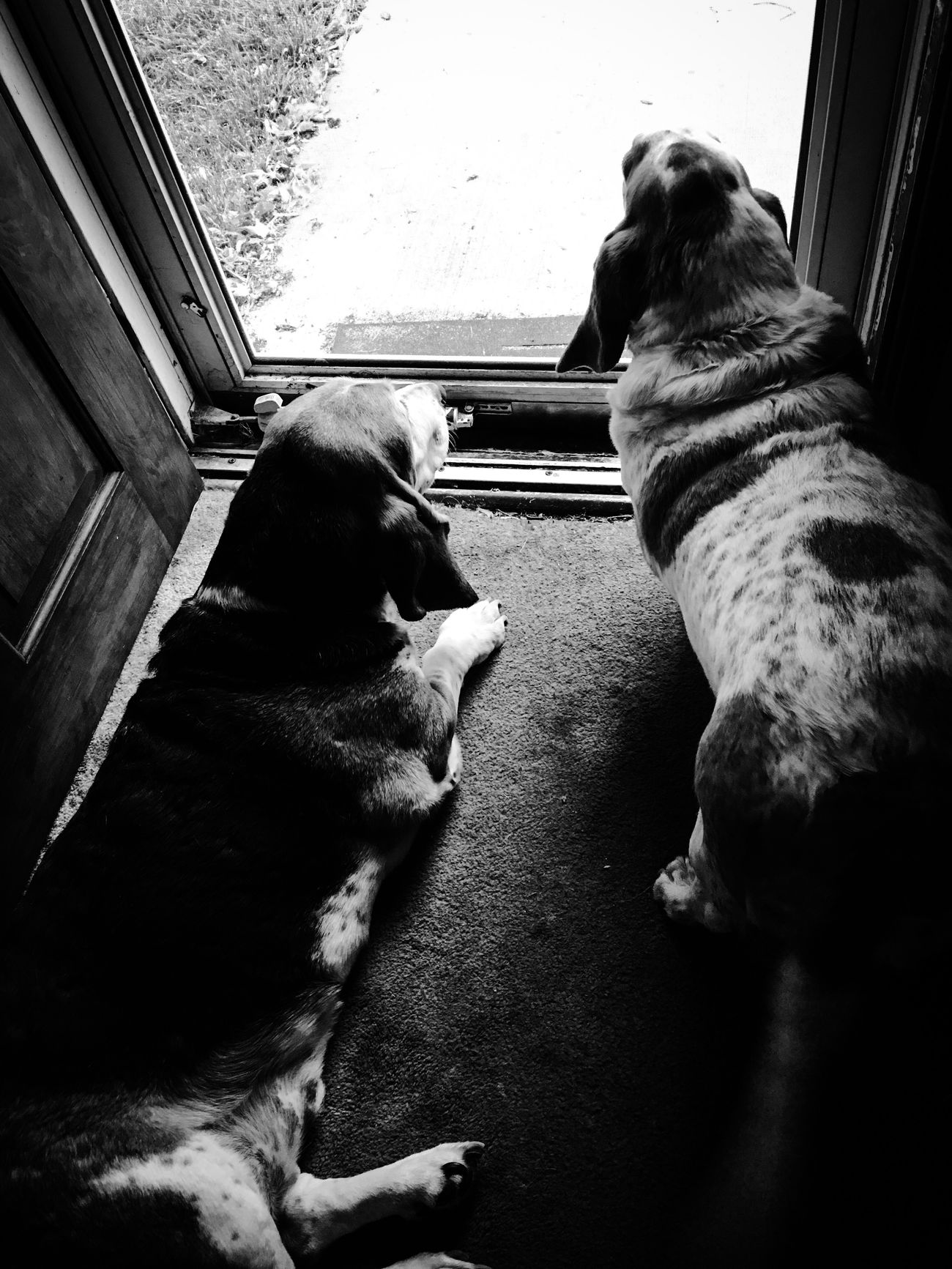 Bassethounds on security detail Check This Out Myseniorhound Rescuedbassethound Iphonephotography Bassetworld Bassetphotography Bassetmoments Ilovebassethounds Blackandwhite Photography