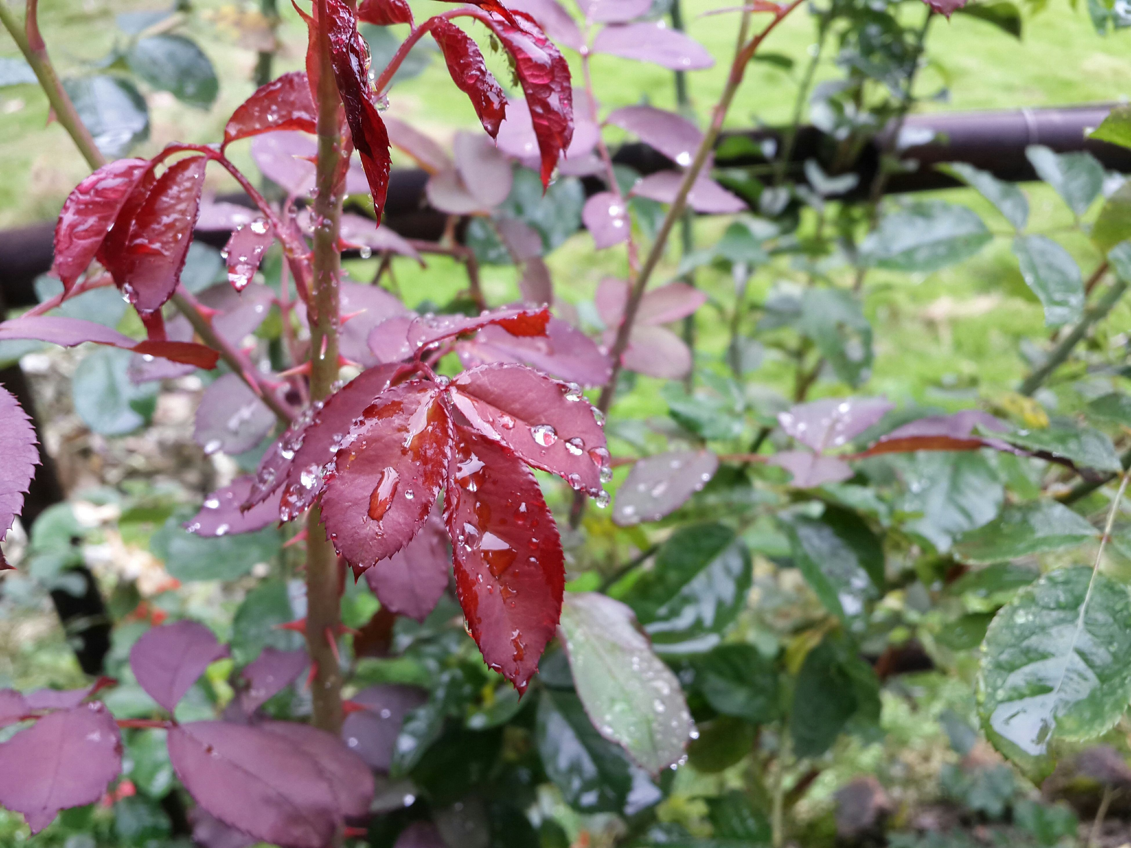 drop, growth, close-up, wet, focus on foreground, freshness, water, leaf, season, nature, beauty in nature, fragility, weather, dew, flower, plant, red, raindrop, petal, rain