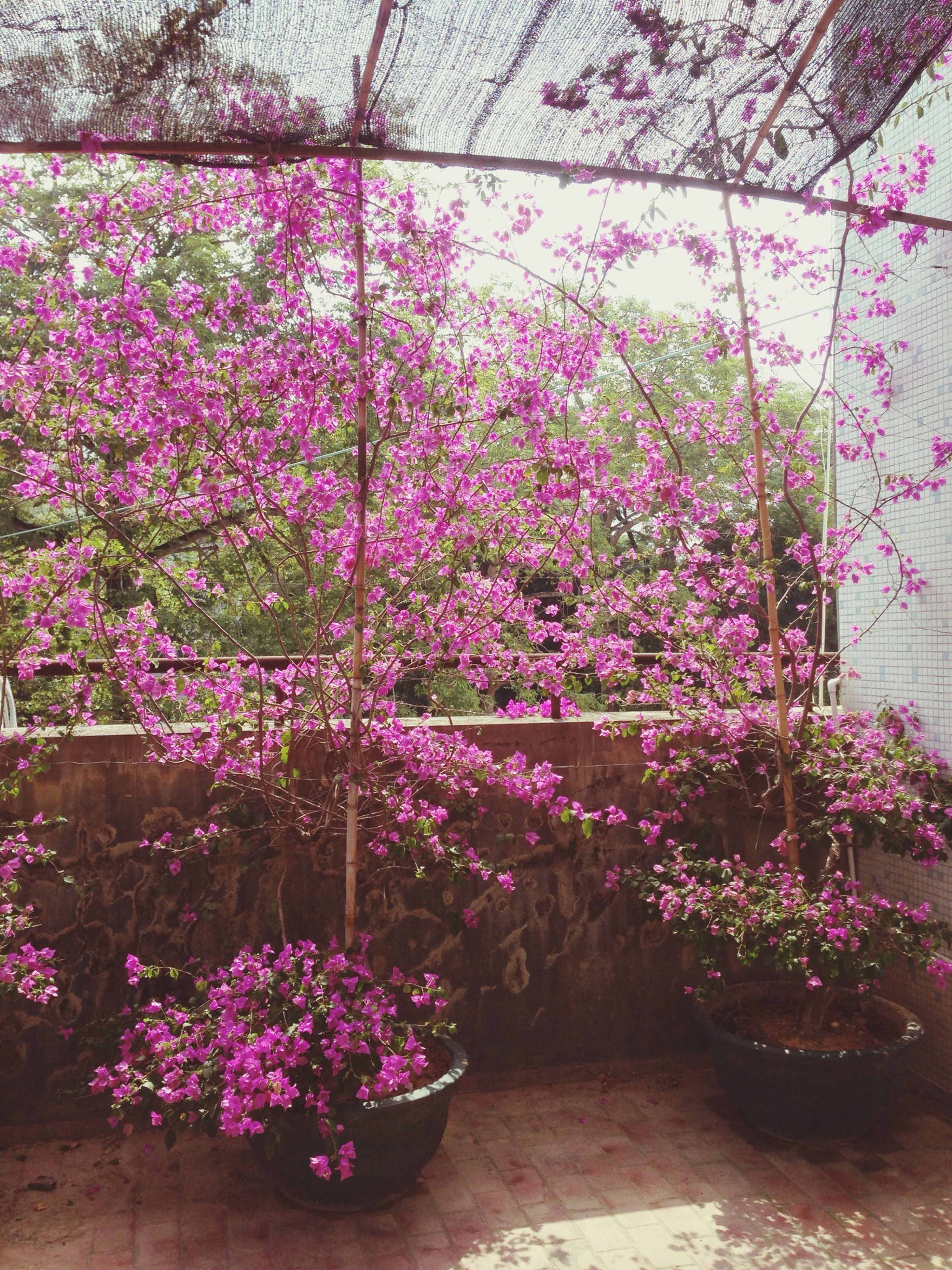 flower, freshness, growth, fragility, plant, beauty in nature, pink color, nature, blooming, petal, in bloom, blossom, purple, tree, abundance, day, outdoors, springtime, no people, potted plant