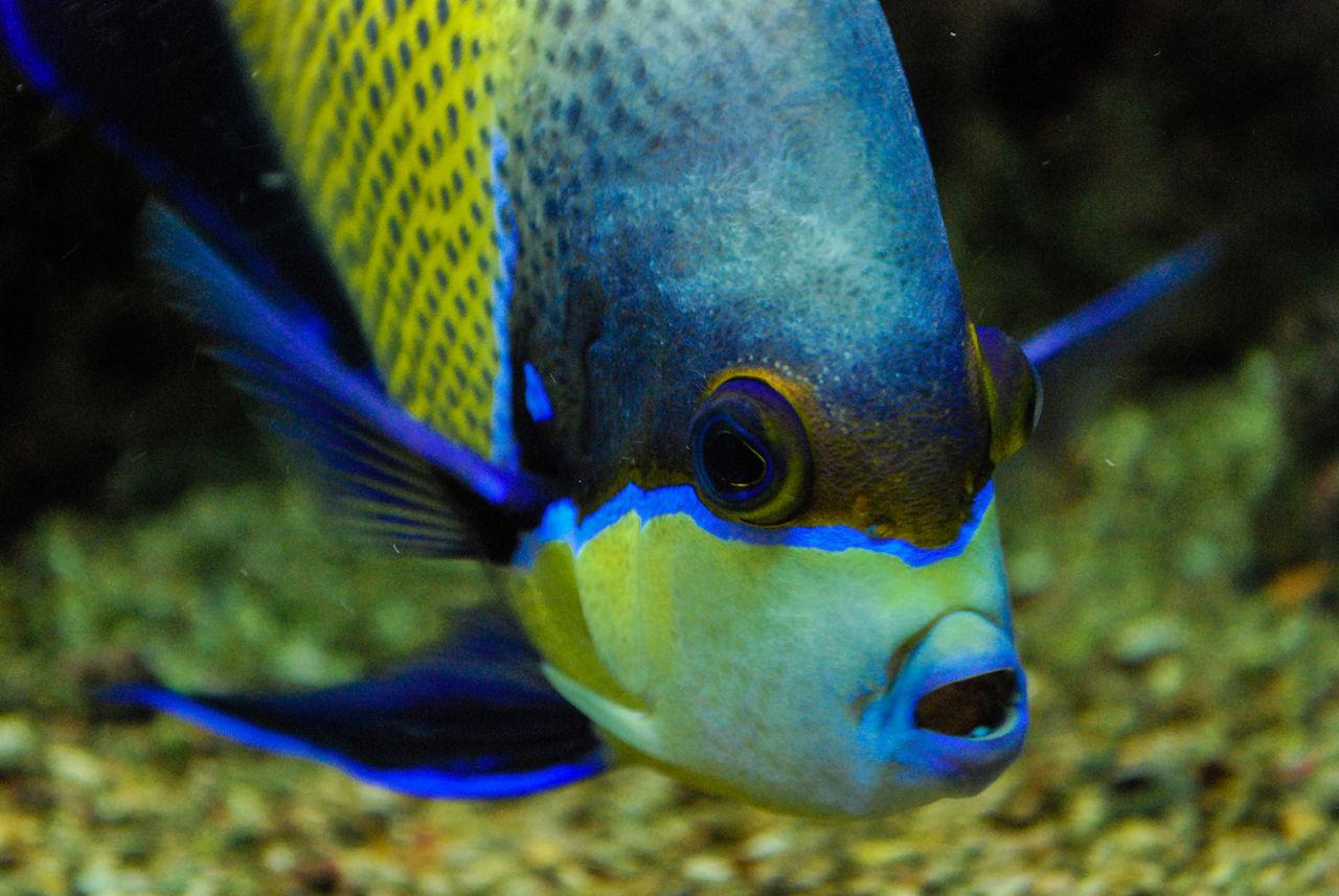 one animal, fish, animal themes, underwater, close-up, animals in the wild, focus on foreground, sea life, animal wildlife, undersea, no people, swimming, blue, aquarium, nature, indoors, day, eyeball