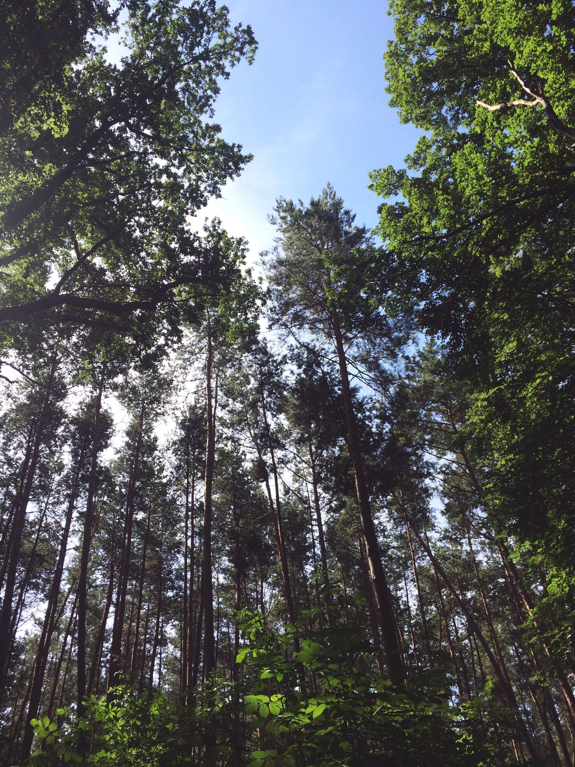 tree, low angle view, growth, forest, tranquility, green color, nature, beauty in nature, tree trunk, sky, tranquil scene, lush foliage, day, scenics, woodland, tall - high, outdoors, no people, green, non-urban scene, idyllic, backgrounds