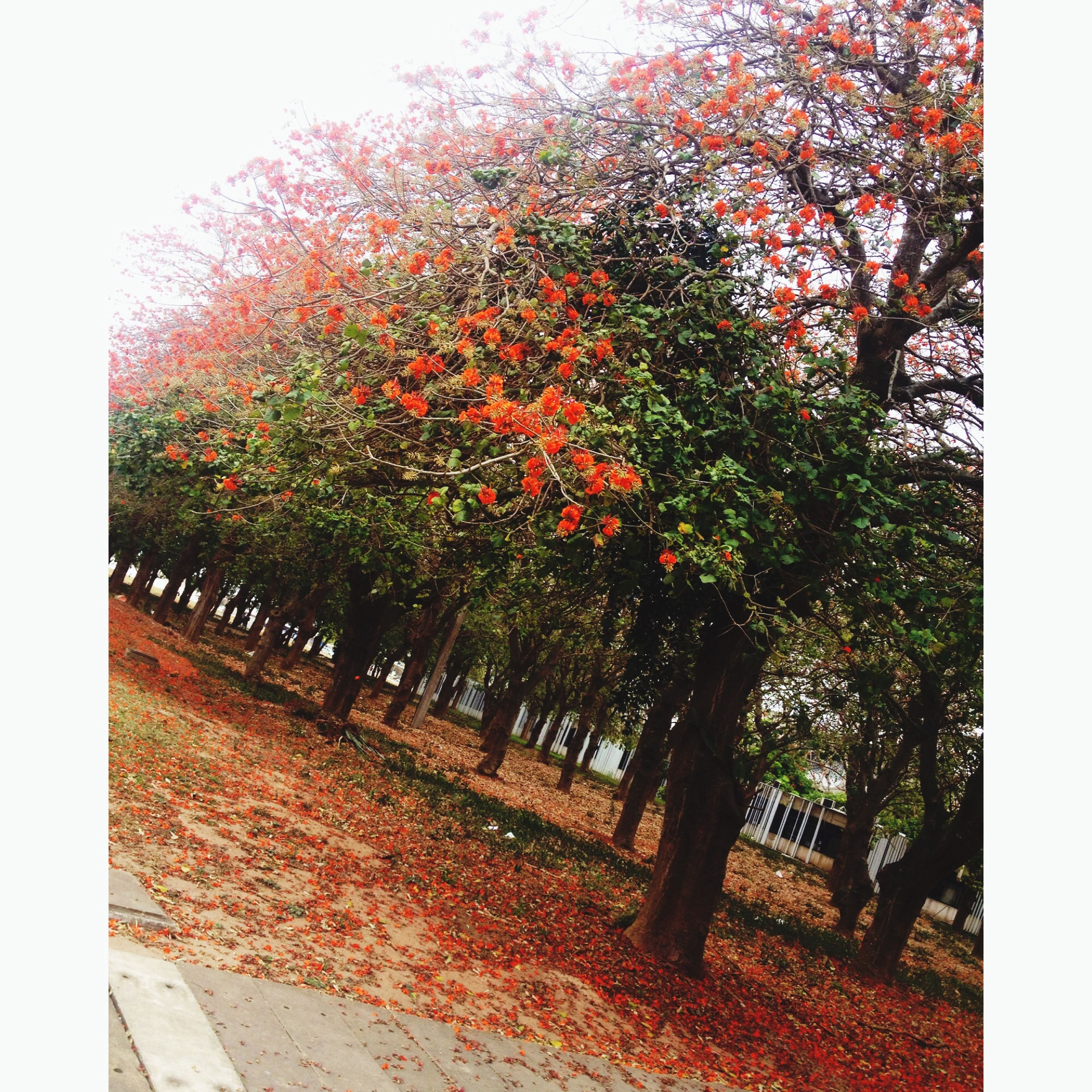 tree, growth, transfer print, autumn, season, beauty in nature, auto post production filter, nature, change, tranquility, flower, leaf, plant, branch, day, park - man made space, outdoors, tranquil scene, clear sky, no people