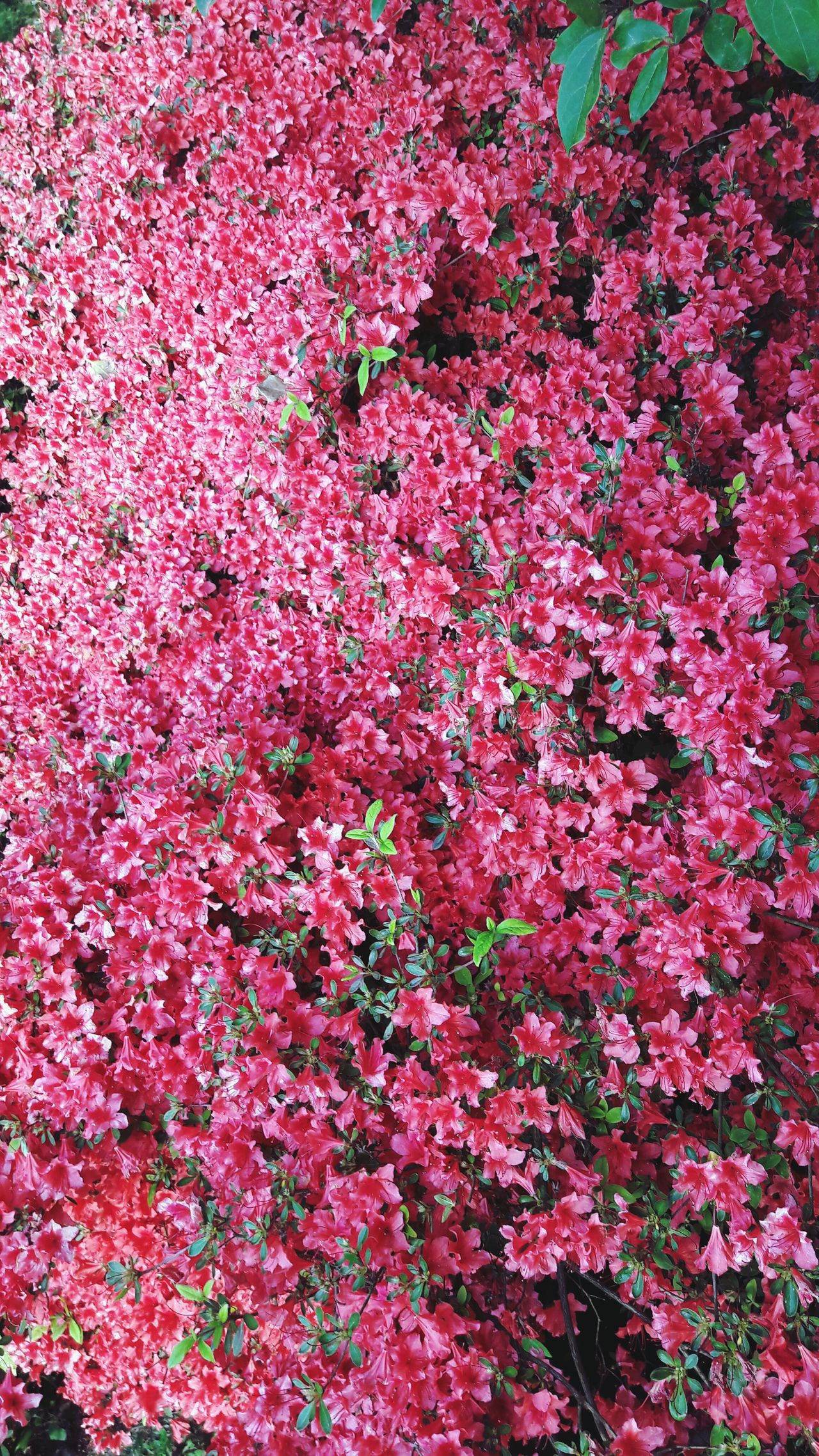 Flower Flower Carpet Pink Flower Pink Pink Color Spring Flowers Spring Garden French Flowers Park Small Flowers Garden Photography Spring Is Coming  Spring Time Pınky Close Up Close-up Outdoors Growth No People Day Fragility Freshness Beauty In Nature
