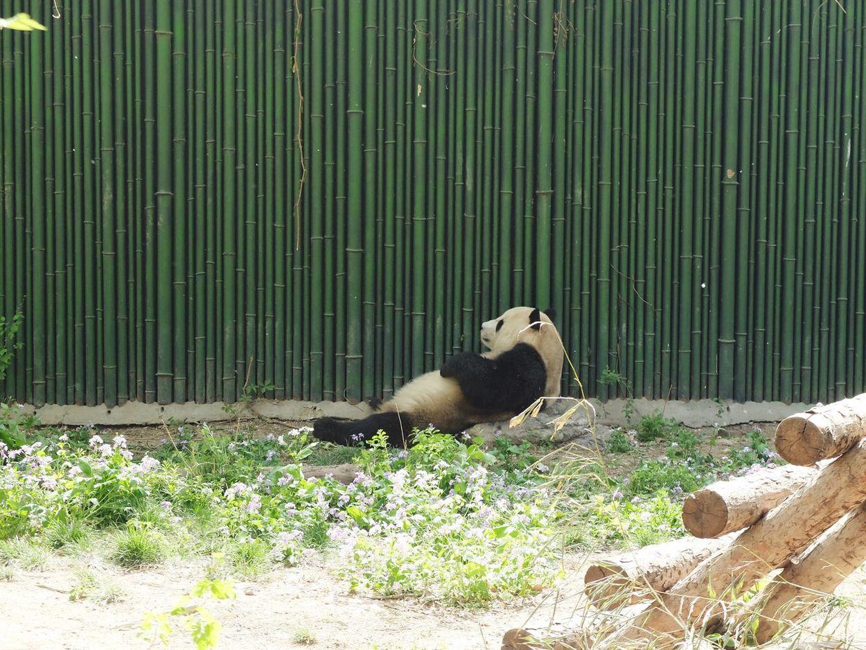 Panda - Animal EyeEm Diversity Art Is Everywhere