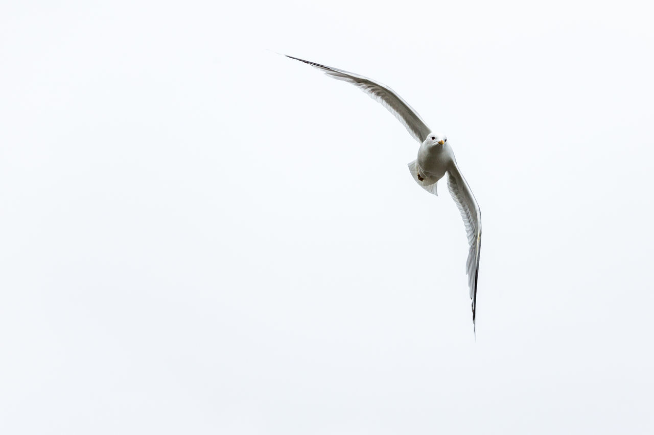 Animal Animal Themes Animals In The Wild Attack Beauty In Nature Bird Birds Close-up Copy Space Day Flying Freshness Nature No People Northern Norway Norway Sea Life Seagull White Background