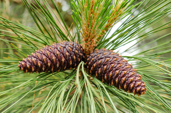 Closeup up view of a pair of pine cones still attached to the tree Bend Branch Central Oregon Christmas Colorful Deschutes Deschutesriver  Forest Grass Landscape Nature Oregon Outdoors Park Pine Pinecone Tourism Travel Tree United States View Water Wild Winter Wood