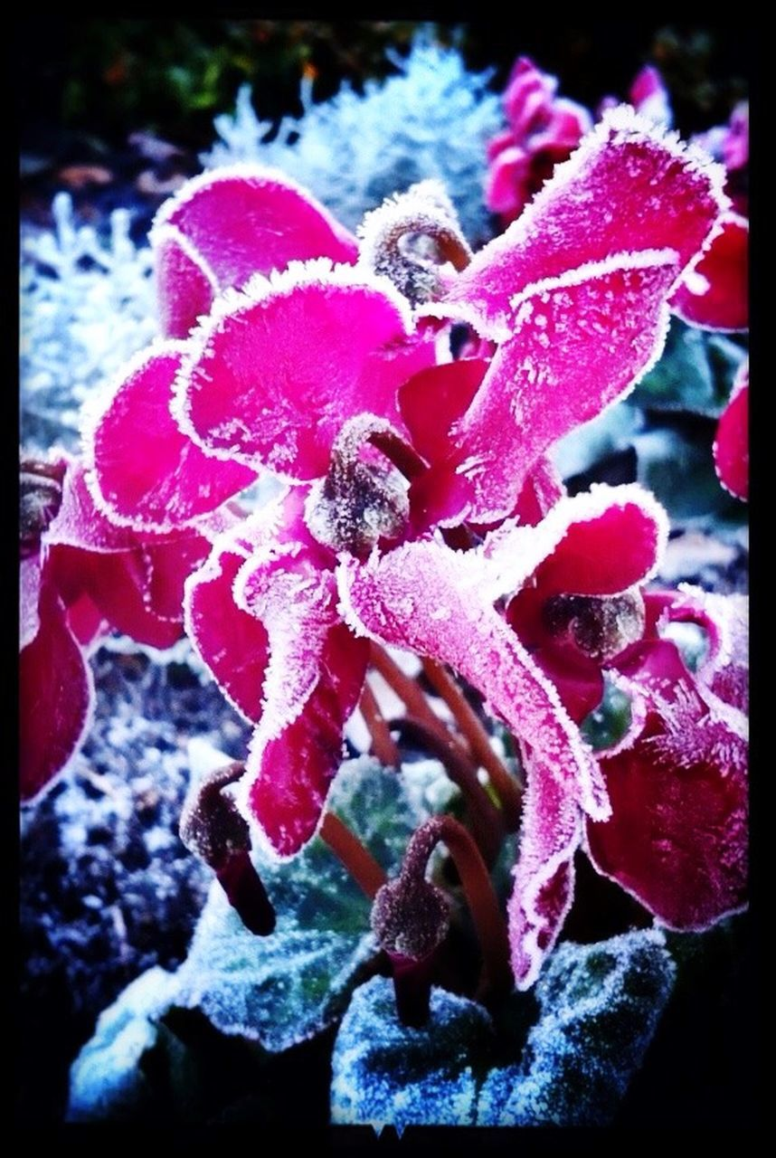nature, beauty in nature, winter, no people, cold temperature, outdoors, close-up, snow, day, red, fragility, water, freshness