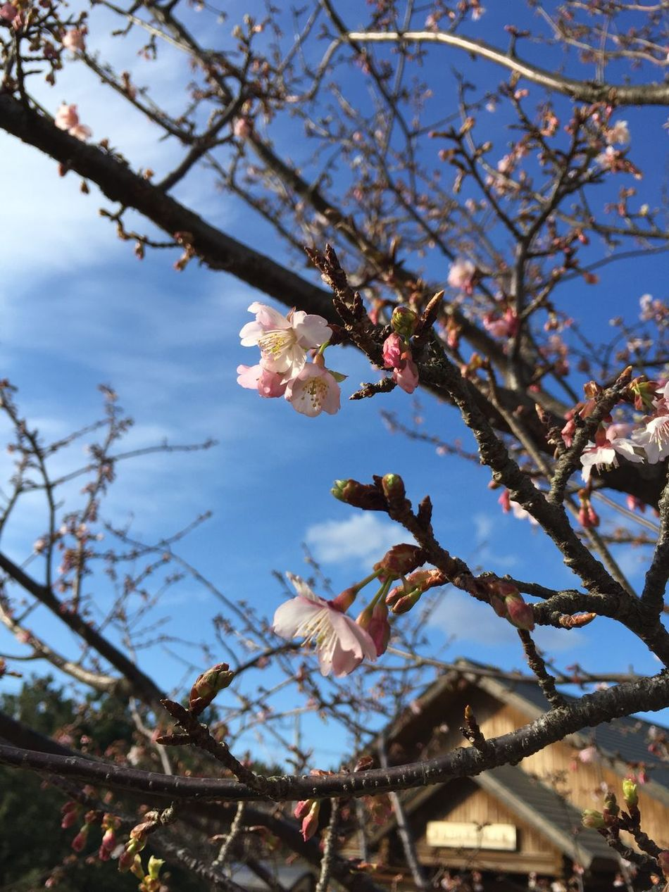 Cherry blossom of early flowering !!