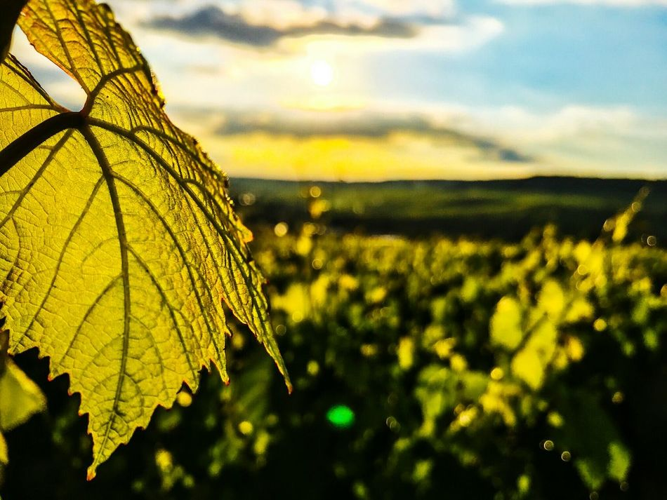 Sunset No People Nopeople Champagne Region Champagne France Green Grapes Champagne Grapes Wine Grapes Wine Best EyeEm Nature Nature_collection Nature Photography EyeEm Nature Lover Naturelovers Nature_perfection Vivelafrance Leafs Leafphotography Leafporn
