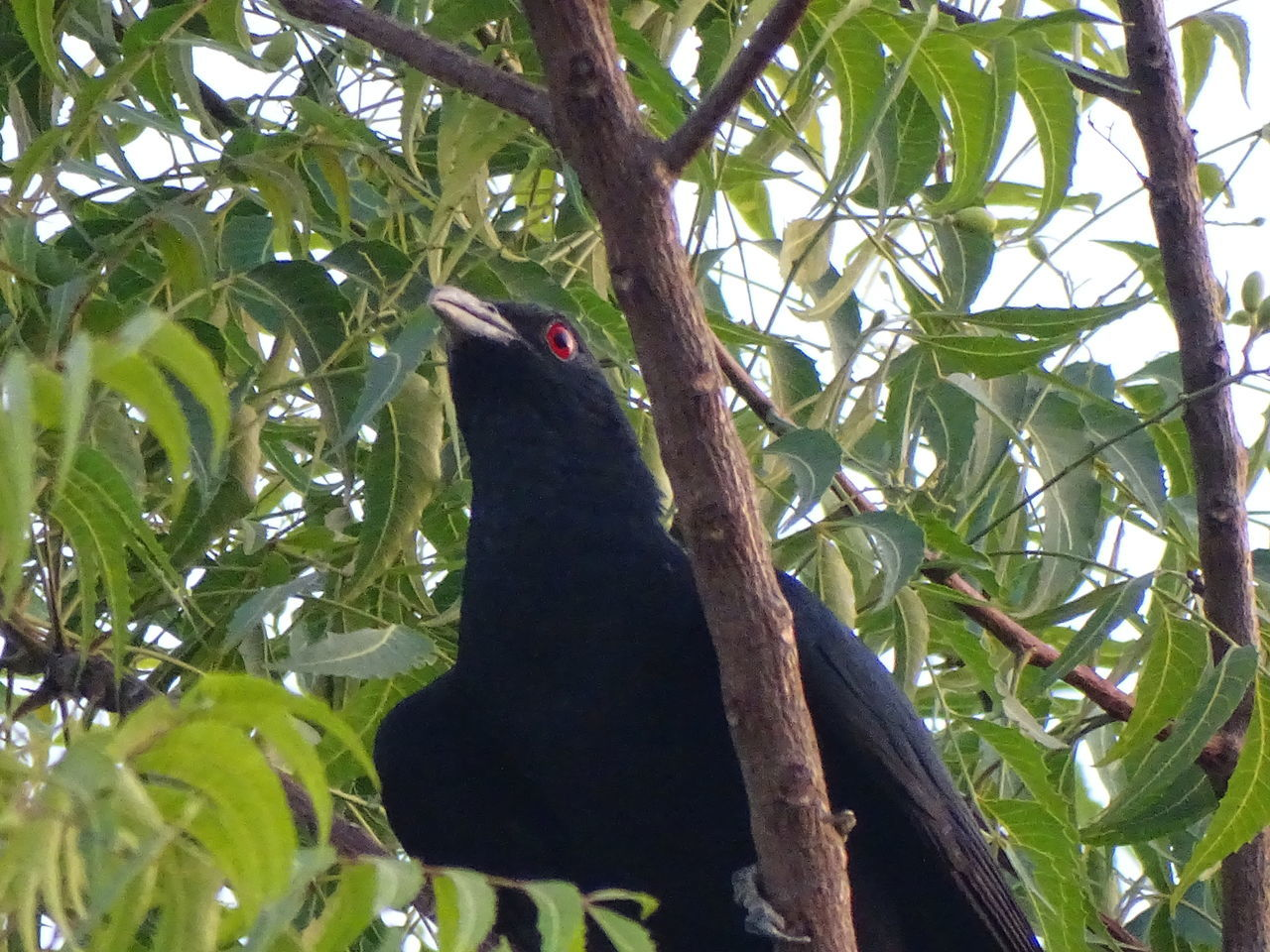 The Indian Bird - Koel Tree Green Color Day Leaf Low Angle View Branch Nature Outdoors Growth No People Animal Themes
