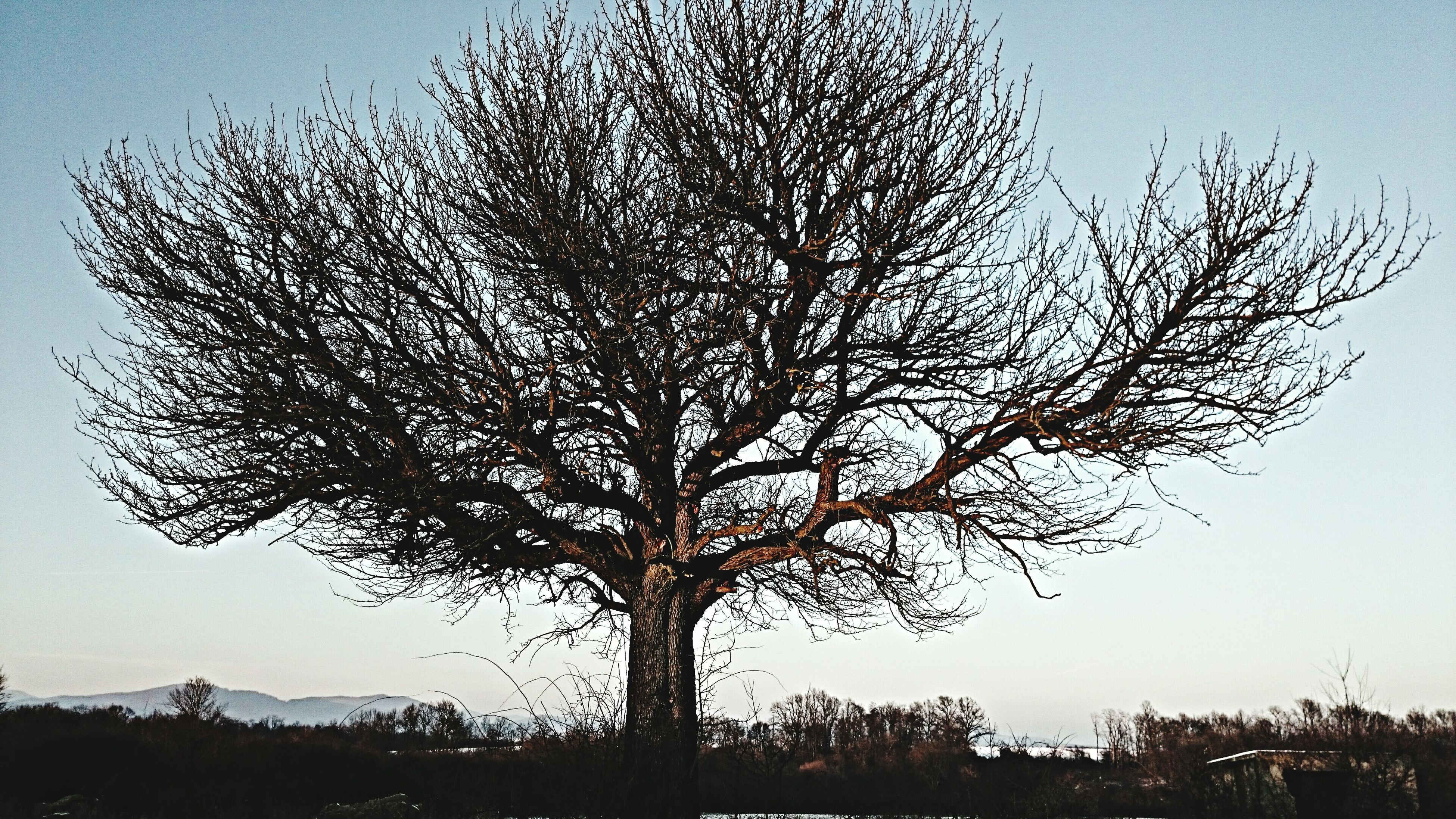 tree, branch, bare tree, clear sky, tranquility, nature, tree trunk, tranquil scene, beauty in nature, sky, silhouette, low angle view, growth, scenics, landscape, single tree, field, no people, outdoors, day