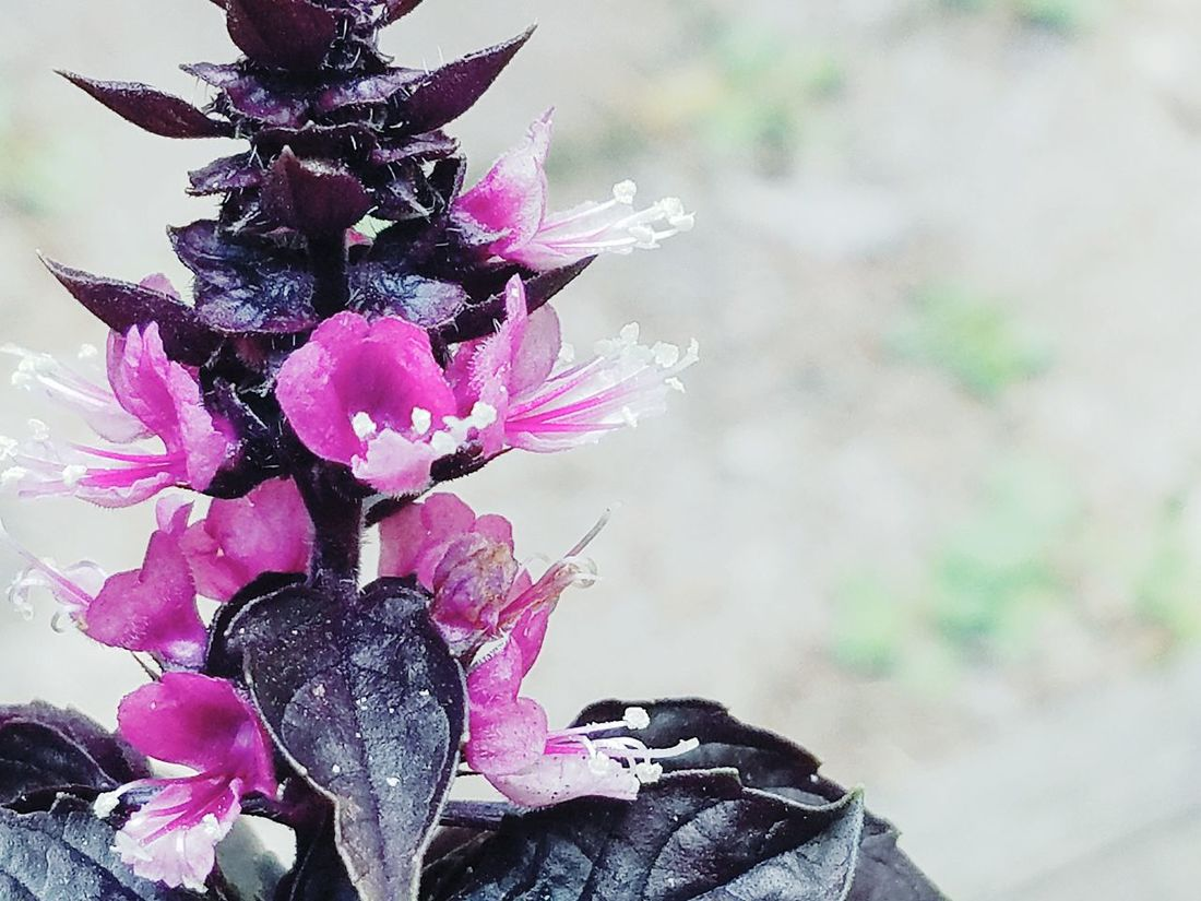 flowering purple basil. Flower Nature Plant Growth Beauty In Nature Close-up Day Outdoors Pink Color Nature Growth Plant Flower Head Freshness Purple Basil