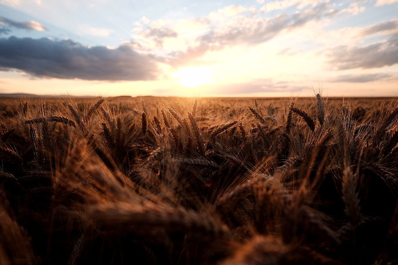 growth, field, agriculture, sunset, nature, crop, farm, landscape, tranquility, sky, rural scene, tranquil scene, scenics, cereal plant, no people, plant, beauty in nature, wheat, outdoors, day, close-up