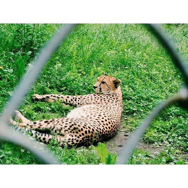 🐆 🐯 гепард кошка хищник зоопарк Охотник вклетке скорость лето жара Cheetah Cat Predator Zoo Hunter Inthecell Speed Summer Heat Instasize VSCO Vscocam Fv5 Fv5camera Nexus4photography Nexus4