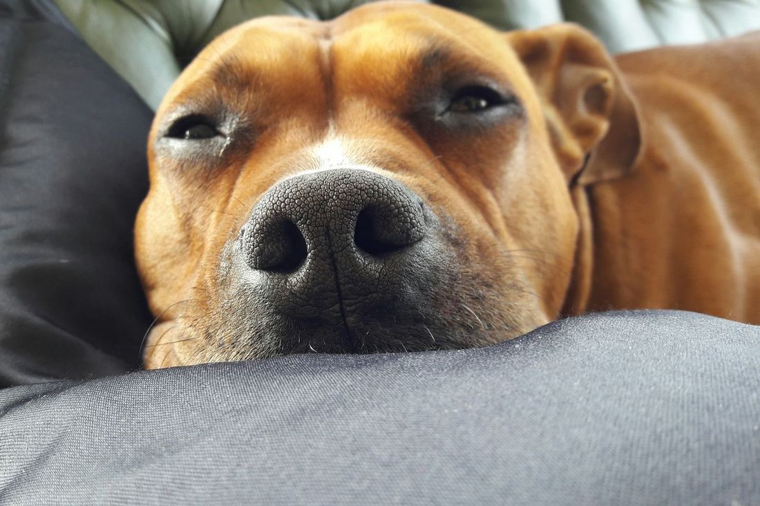 Dog Nose Close-up Mydog Taking Photos Doggy Pets Loveher Myqueen Cute Cutie Loveit Feeling Good Today's Hot Look Sleepy Sleepy Eyes
