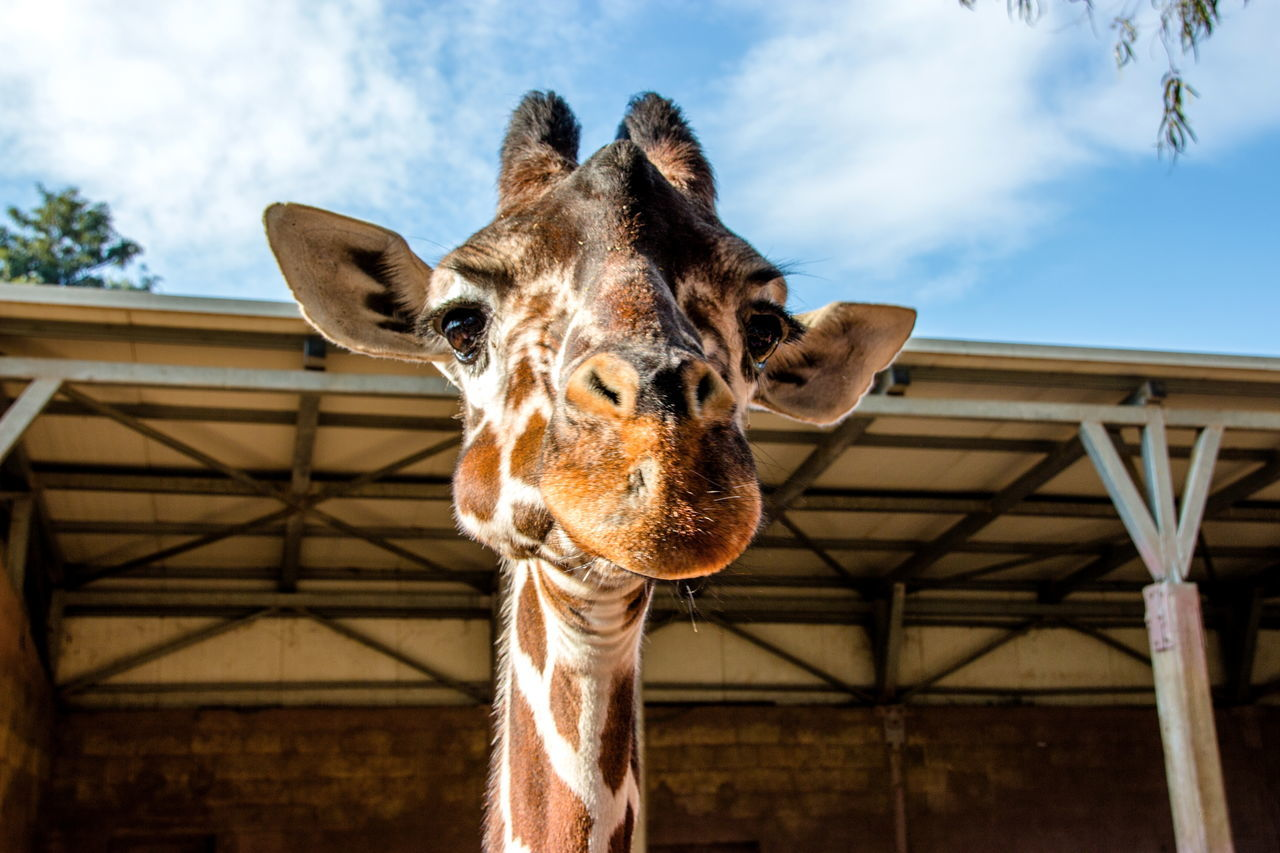 Low Angle View Of Giraffe Against Building Against Sky