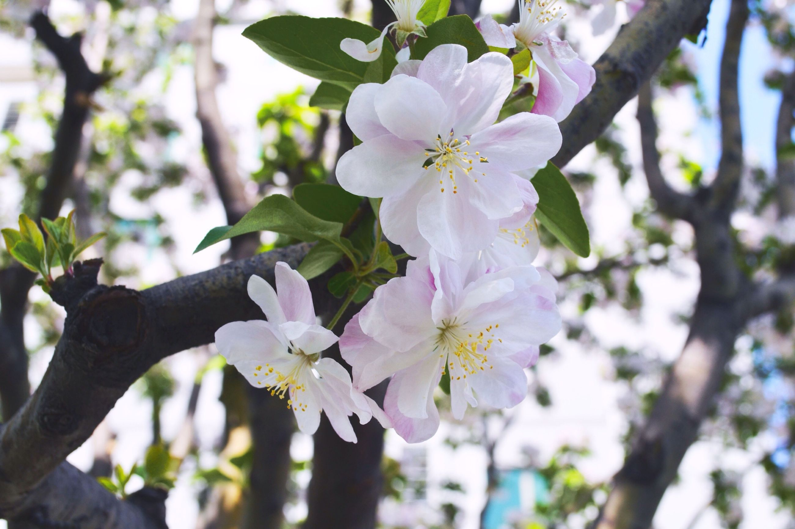 flower, freshness, growth, tree, fragility, branch, cherry blossom, beauty in nature, petal, blossom, nature, focus on foreground, blooming, cherry tree, in bloom, flower head, close-up, low angle view, springtime, white color