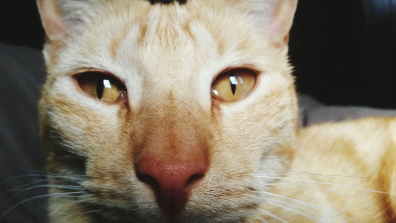 Cat Cats Gato Gatos Eyes My Cats Gatos 😍 Cat♡ Cats 🐱 Nouse - Mushi