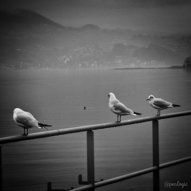 Hanging Out Water Nature Blackandwhite Landscape Birds Switzerland Bws_worldwide Eye4photography  Ee_daily Bwstyles_gf Bwstyleoftheday EE_Daily: Black And White Eye4black&white