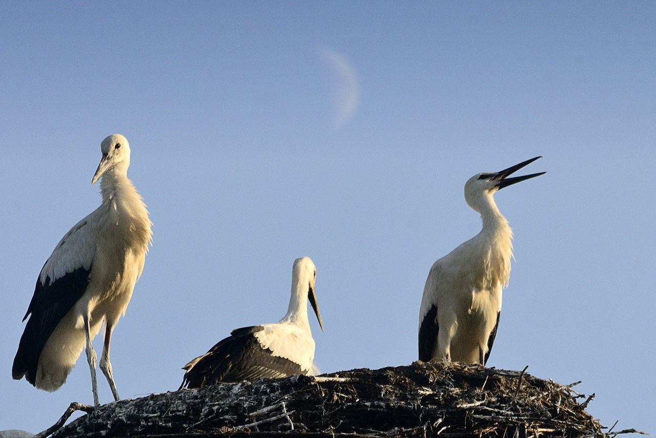Low Angle View Of White Storks Against Blue Sky