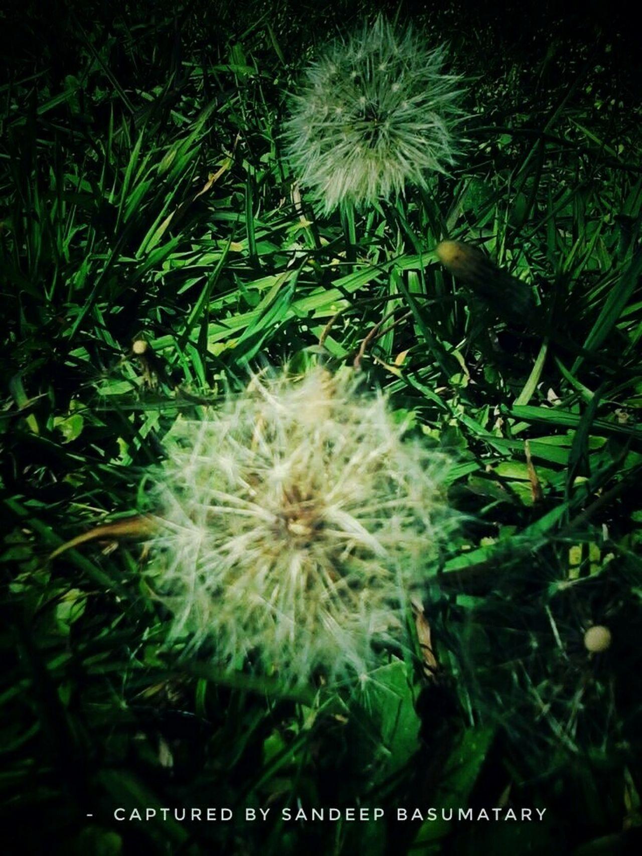 Winter Dandelions captured on late morning...