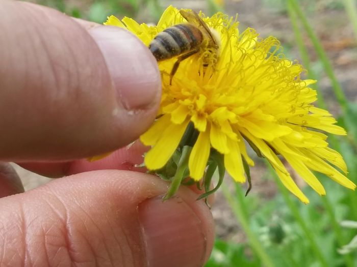 Do it because you want to. Not because you have to. 🐝Human Hand Human Body Part Yellow Flower Insect Close-up Real People Holding Flower Head Animal Themes Lifestyles One Person Outdoors Pollen Day Fragility Fingernail Nature People New Zealands Summer😍 2017 Welcome! Bee 🐝 New Zealand Natural Brangwen Nz Bees