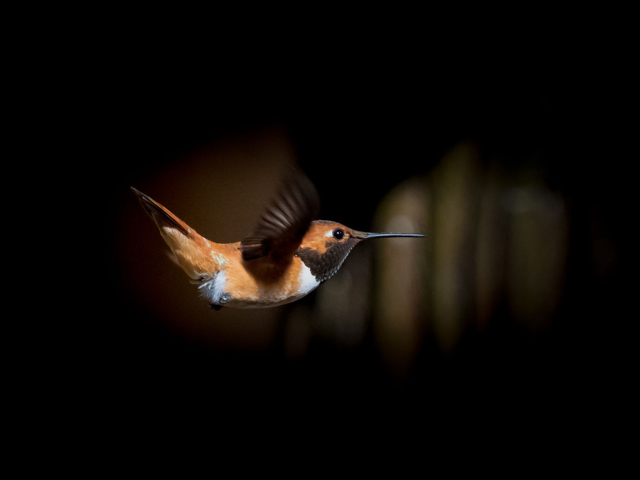 Animal Themes Animal Wildlife Animals In The Wild ArtWork Beak Beauty In Nature Bird Bird In Flight Black Background Blackground Close-up Day Flying Hummingbird Mid-air Motion Nature No People One Animal Outdoors Rufous Rufous Hummingbird Spread Wings TCPM Art Is Everywhere Break The Mold