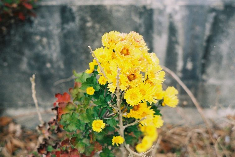 Fujicolor Industrial 100 Pentax SpII Flower Yellow Nature Outdoors Day Plant Close-up No People
